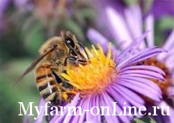 1244821564_honey_bee_extracts_nectar_3